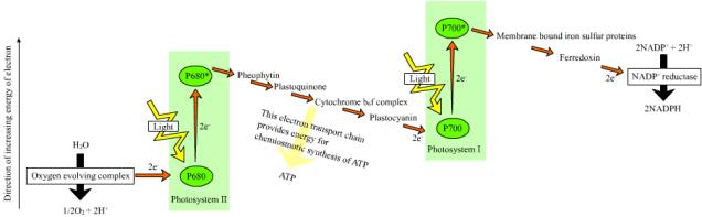 photosynthesisZ-scheme