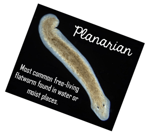 Planarian.png