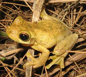 Tyler's tree frog has large toe pads and webbed feet