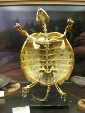 Skeleton of snapping turtle (Chelydra serpentina)