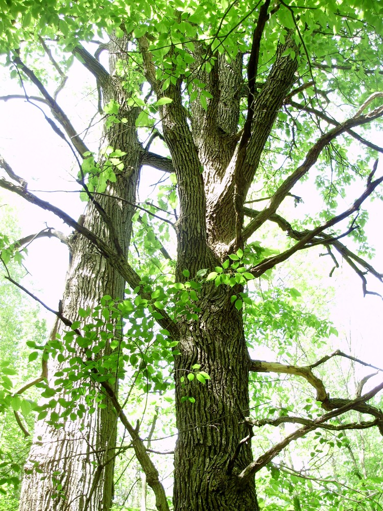 Can Anything Good Come From A Cottonwood Tree? (3/4)