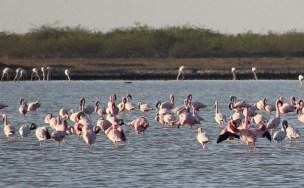 Flamingo 1