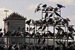 Les oiseaux. Alfred Hitchcock