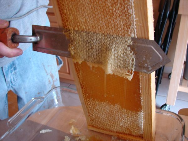"Uncapping honey frames before they are ""slung."""