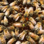 Requeening honeybee colonies with cells