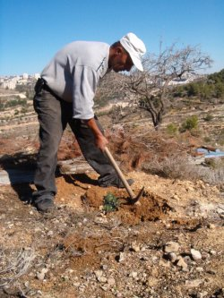 Abed olanting olive trees on his land
