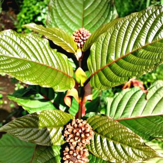 Live Kratom Trees and Seeds