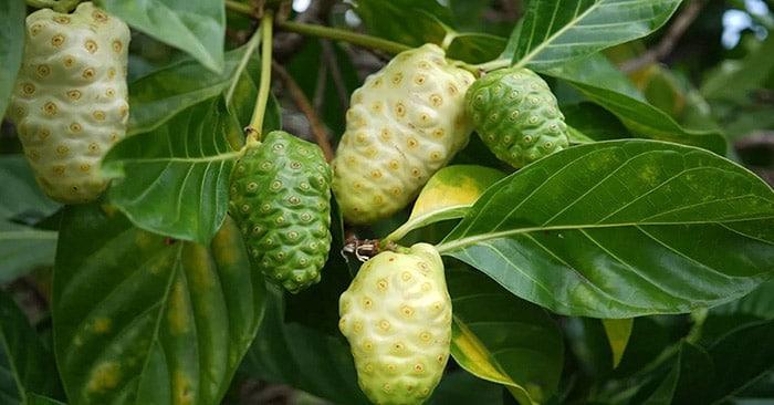 شجرة عصير المورينزي- فاكهة النوني
