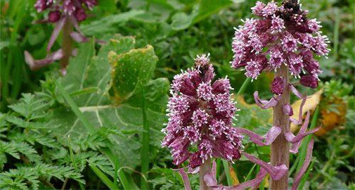 نبات الزبد مفيد لعلاج الصداع