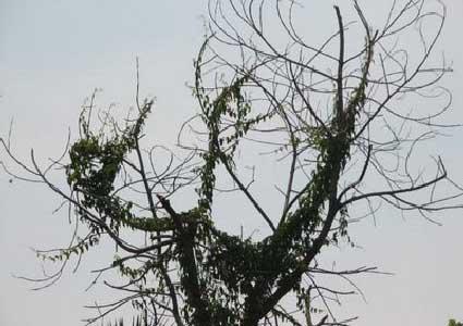 pohon berlafat allah