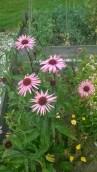 Echinacea 2