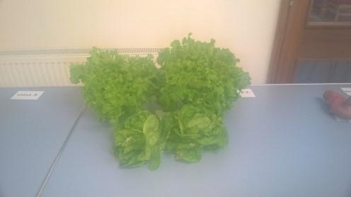lettuce-table-1