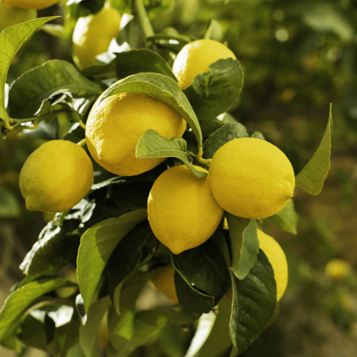 A Lemon tree full of lemons