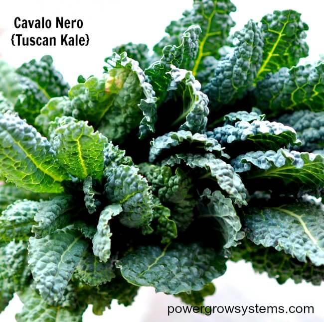 Tuscan Kale, kale, Cavolo Nero, black leaf kale