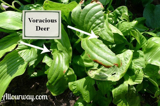 Deer Damage to Hosta Embroidery at allourway.com