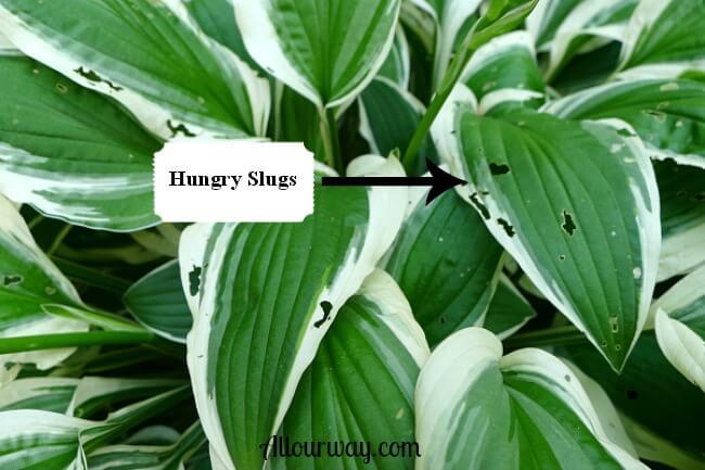 Hosta with Slug Damage at allourway.com