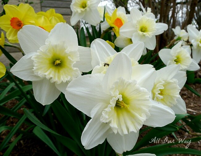 Daffodils - First Sign of Spring @allourway.com