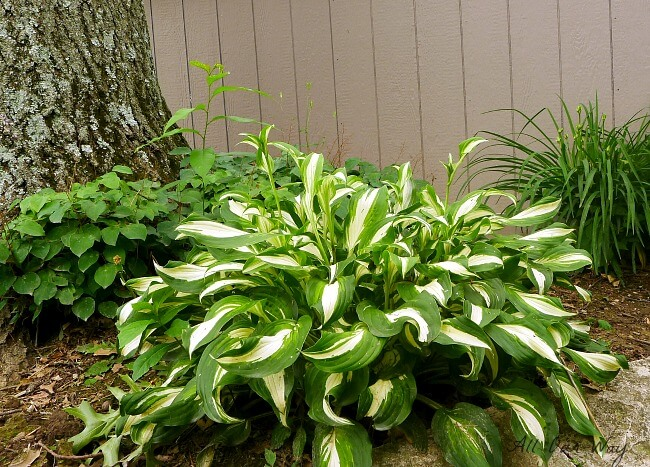 Healthy hosta plant under oak tree. @allourway.com