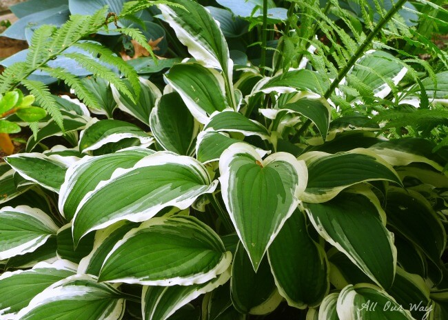 No slug damage on the variegated hosta after spraying with our natural deer repellent @ allourway.com