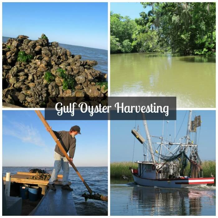 Gulf Oyster Harvesting for Crunchy Deep Fried Oysters @allourway.com