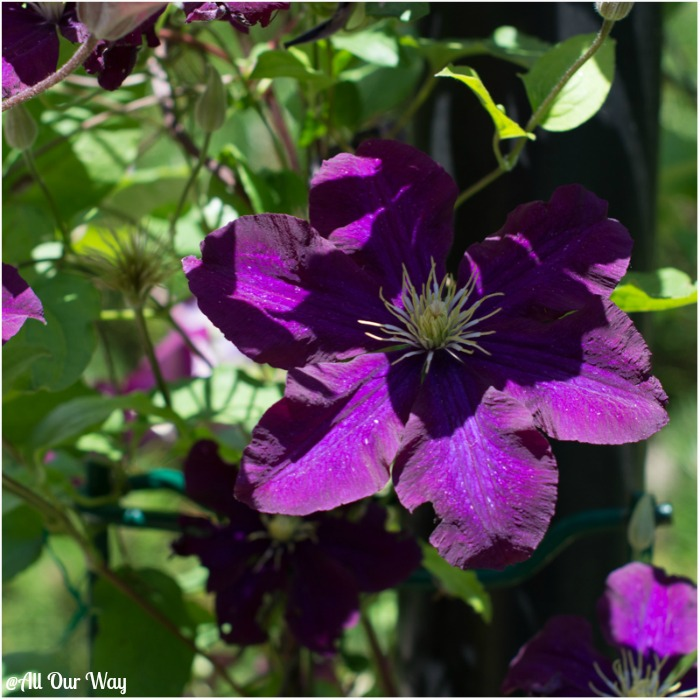 One of the clematis vines in our yard, They have to be trimmed before making orzo stuffed peppers Italian style.