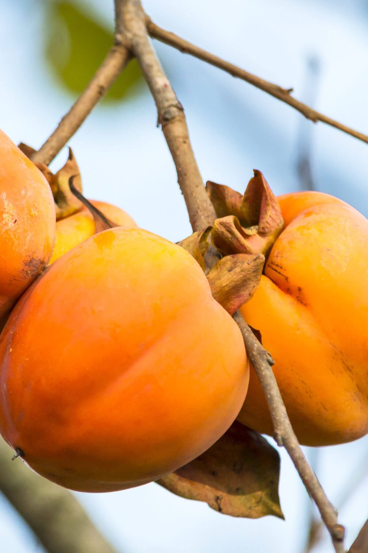 Persimmons on a tree branch.