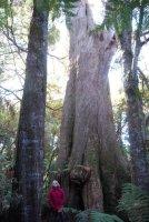 Big Tree Walk Weldborough.014 11h21m35s2019 06 04