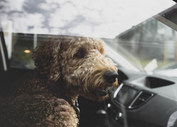 Uber Pet: Tips For Pet-Friendly Uber Rides | All Paws Express