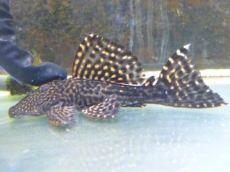 メガドラゴンプレコ約16cm 2019年4月19日入荷