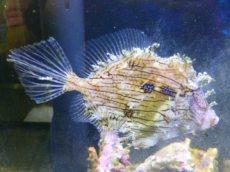 ヒゲハギ(海水魚) 2019年7月11日入荷