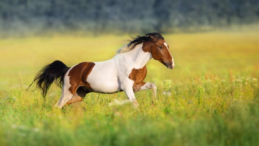 American Paints Horse