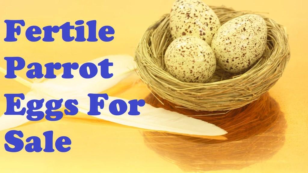 Fertile Parrot Eggs For Sale