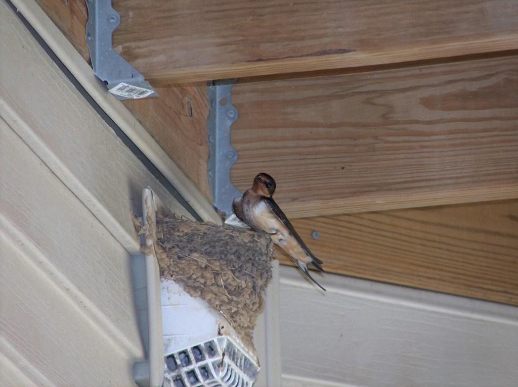 Birds Nest In Dryer Vent