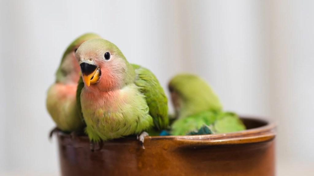 Parrotlet Breeds