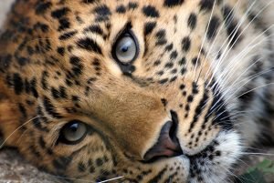 Attachment file to download for pictures of wild animals - Tiger the big cat in close up