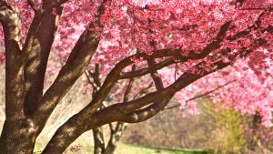 Download file for high resolution nature pictures pink colored cherry blossom in summer