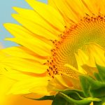 best wallpapers for iPhone 6s and iPhone 7 with sunflower