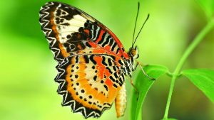 Attachment file of Macro Photo of Beautiful Butterfly on leaves for Wallpaper