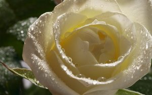 Attachment for Nature Wallpaper with White Rose