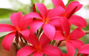 High resolution picture of red Plumeria flower for wallpaper