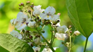 catalpa flowers in close up
