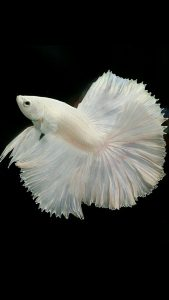 Free Cell Phone Wallpaper Downloads with albino Betta fish