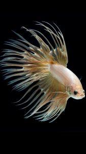 Albino Betta Fish Picture (4)