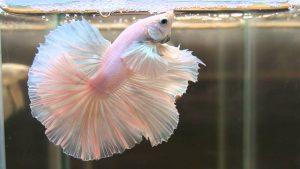 Albino Betta Fish Picture (5)