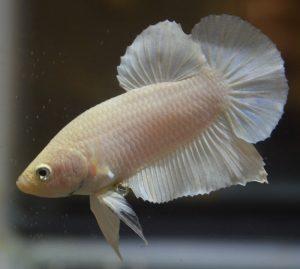 Albino Betta Fish Picture (6)