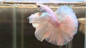 Pretty Betta Fish - White Dumbo Rosetail