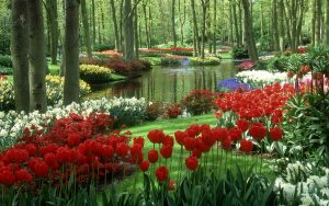 Nature Images HD with Colorful Tulips Garden