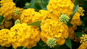 Picture Of Hydrangea Flower in Yellow