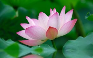 Beautiful Lotus Flower Wallpaper with 2560x1600 Resolution