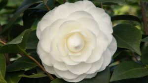 Flower That Looks Like A Rose with White Camellia Japonica